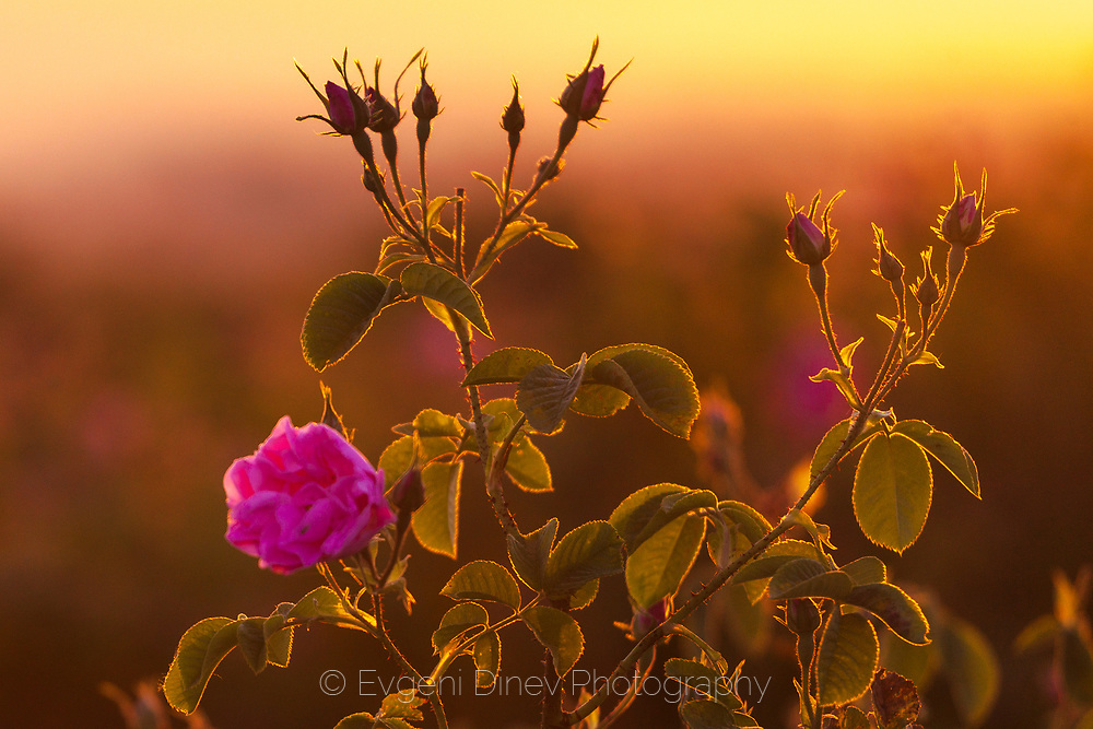 Pink rose flowers used to produce Bulgarian Rose Oil