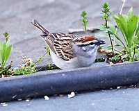 Chipping Sparrow on the ground. Image taken with a Nikon D5 camera and 600 mm f/4 VR lens (ISO 1600, 600 mm, f/5.6, 1/160 sec).