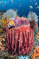 Barrel Sponge with Crinoids and Butterflyfish<br /> <br /> Shot in Indonesia