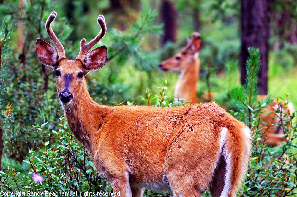 Whitetail bucks in summer. Yaak Valey Montana