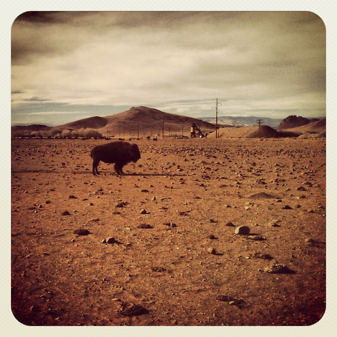 Lone Bison. Del Norte, Colorado.