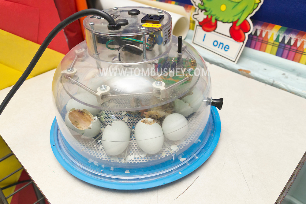 Cornwall, New York - Chicken eggs hatch in an incubator in a first-grade classroom at Willow Avenue Elementary School on June 20, 2014. ©Tom Bushey / The Image Works