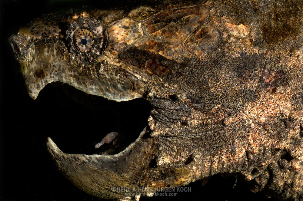 Deu, Deutschland: Geierschilkroete (Macrochelys temminickii), Portraet, close-up, Maul zum Zuschnappen geoeffnet, Reptilienzoo Regensburg, Bayern | DEU, Germany: Alligator Snapping Turtle (Macrochelys temminickii), portrait, close-up, mouth open for snapping, reptile park, Regensburg, Bavaria