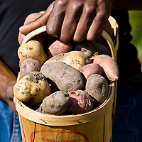 Freshly dug heirloom potatoes or many different colours and shapes..