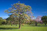 Pink Trumpet Trees (Tabebuia rosea), Guanacaste, Costa Rica.<br />
