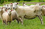 Flock of sheep on a farm  near Waiuku on North Island  in New Zealand