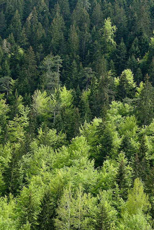 Pine forest at Durmitor National Park, Montenegro