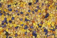 """DEU, Deutschland: Biene, Honigbiene (Apis mellifera), Masse von sogenannten """"Pollenhöschen"""", Honigbienen haben an den Hinterbeinen spezielle Einrichtungen an denen sie die gesammelten und nach hinten gestrichenen Pollen transportieren können in kleinen Bällchen, Pollen sind, ebenso wie Honig, zum Verzehr geeignet und dienen der Stärkung des Immunsystems, die unterschiedlichen Farben kommen durch die unterschiedliche Farbigkeit der Pflanzenpollen zustande, Bienenstation an der Bayerischen Julius-Maximilians-Universität Würzburg"""