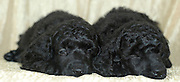 2 one month old black miniature poodle puppies facing camera.