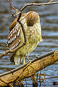Juvenile Black-crowned Night Heron in sleep mode