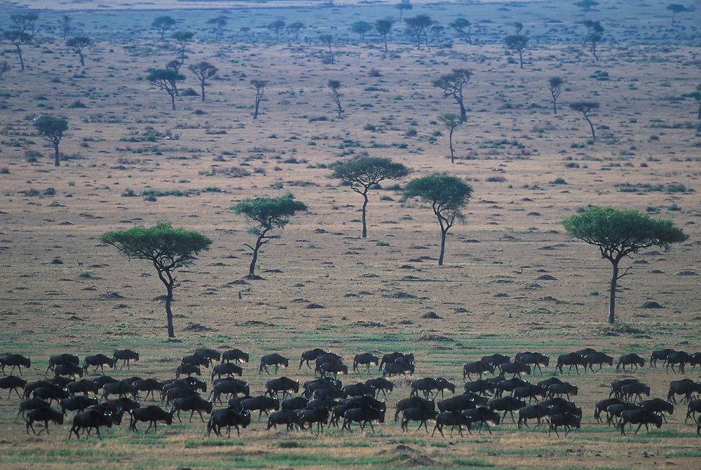 Kenya, Masai Mara Game Reserve, Herd of Wildebeest (Connochaetes taurinus) during migration across savanna