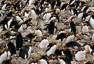Macaroni penguin colony, Eudyptes chrysolophus, South Georgia Island