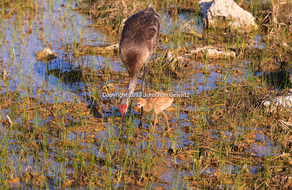 An adult Sandhill Crane (Grus canadensis) is accompanied by a Sandhill Crane chick while foraging for food on flooded sawgrass prairie in the Shark Valley section of Everglades National Park, Florida. WATERMARKS WILL NOT APPEAR ON PRINTS OR LICENSED IMAGES.