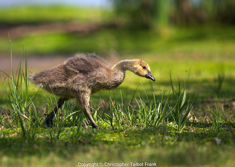 I followed this Canada Gosling chasing a bug this get this great photo of the young bird pursuing a meal.  The little goose's eyes are trained flying insect.