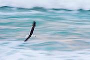 Kelp Gull flying between the waves. De Hoop Marine Protected Area. Western Cape. South Africa.