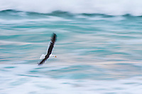 Kelp Gull flying between the waves. De Hoop Marine Protected Area. Western Cape. South Africa.