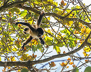Juvenile spider monkey swings by its tail from a branch in a cloud forest tree while looking ahead to the next branch. © 2016 David A. Ponton