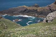 Sea campion Silene uniflora and rocky coast,  Skomer Island, Pembrokeshire, Wales