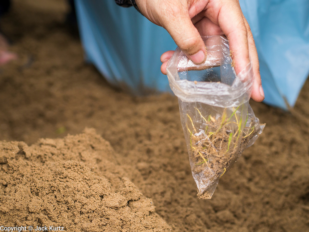 13 MAY 2013 - BANGKOK, THAILAND:   A man collects blessed rice seeds in a plastic bag after the Royal Ploughing Ceremony in Bangkok. After the ceremony, thousands of Thais, mostly family formers, rush onto the ploughed ground to gather up the blessed rice seeds sown by the Brahmin priests. The Royal Plowing Ceremony is held Thailand to mark the traditional beginning of the rice-growing season. The date is usually in May, but is determined by court astrologers and varies year to year. During the ceremony, two sacred oxen are hitched to a wooden plough and plough a small field on Sanam Luang (across from the Grand Palace), while rice seed is sown by court Brahmins. After the ploughing, the oxen are offered plates of food, including rice, corn, green beans, sesame, fresh-cut grass, water and rice whisky. Depending on what the oxen eat, court astrologers and Brahmins make a prediction on whether the coming growing season will be bountiful or not. The ceremony is rooted in Brahman belief, and is held to ensure a good harvest. A similar ceremony is held in Cambodia.  PHOTO BY JACK KURTZ