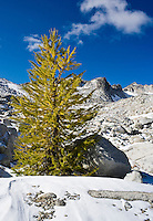 A Larch tree starting to show its Fall colors in the upper Enchantments, Enchantment Lakes Wilderness Area, Washington Cascades, USA.