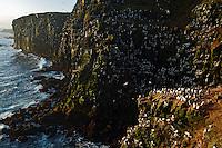 21.05.2008.Common guillemot (Uria aalge) and black-legged kittiwake (Rissa tridactyla) colony.Seabird cliff.Langanes peninsula.Iceland