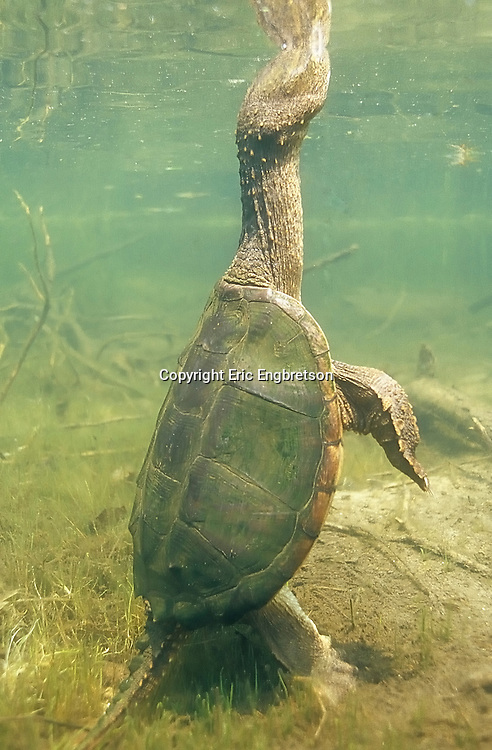 Common Snapping Turtle<br />
