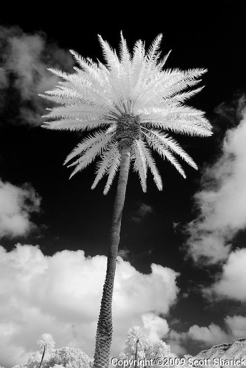 An infared image of a towering palm tree near Diamond Head in Hawaii.