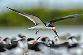 Black Skimmer (Rynochops niger)