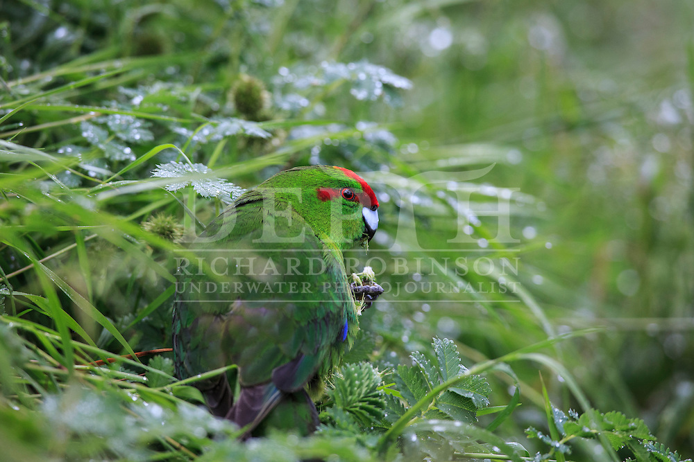 Cyanoramphus novaezelandiae (Red crowned parakeet) at Enderby Island, Auckland Islands, New Zealand.<br /> 12 January 2016<br /> Photograph Richard Robinson &copy; 2016