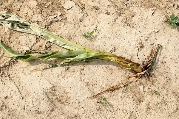 Nederland, Groesbeek, 4-7-2018Akkerbouw heeft in toenemende mate last van de langdurige, aanhoudende droogte. Een veld suikerbieten heeft het loof slap hangen, en zal spoedig verdogen .Foto: Flip Franssen