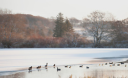 © Licensed to London News Pictures. 18/12/2011. Aberdeenshire, Scotland. Ducks walk on a partially-frozen lake in Dunecht Estates, Aberdeenshire, Scotland on Sunday 18th December 2011. Photo credit : Scott Campbell/LNP
