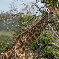 Giraffes are the tallest living terrestrial animals.  They are herbivores who can reach leaves no other animal can due to their height.