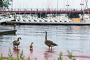"Annapolis, Maryland - June 05, 2016: A family of geese walk in the perigean spring tide waters, which brought the water from the Annapolis City Marina loading dock dozens of feet on to Fifth Street Sunday June 5th, 2016.<br /> <br /> A perigean spring tide brings nuisance flooding to Annapolis, Md. These phenomena -- colloquially know as a ""King Tides"" -- happen three to four times a year and create the highest tides for coastal areas, except when storms aren't a factor. Annapolis is extremely susceptible to nuisance flooding anyway, but the amount of nuisance flooding has skyrocketed in the last ten years. Scientists point to climate change for this uptick. <br /> <br /> <br /> CREDIT: Matt Roth for The New York Times<br /> Assignment ID: 30191272A"