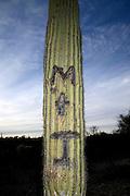A vandalized Saguaro cactus (Carnegiea gigantea) grows along McCain Loop Drive in Saguaro National Park in the Sonoran Desert,Tucson, Arizona, USA.