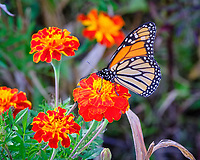 Monarch butterfly feeding on Marigold flowers. Image taken with a Fuji X-T3 camera and 200 mm f/2 lens