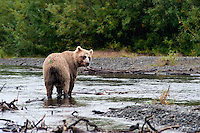 Grizzly Bear Eating Salmon..shot on the Kanektok River, Alaska, USA..