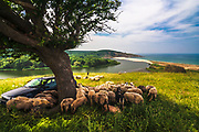 Lambs out a feed under a three around a vehicle. In the distance is a beautiful river flows into the sea.