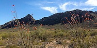 Ocotillo flowers at Ironwood National Monument Ironwood National Monument Ironwood National Monument. Near Raggedtop.