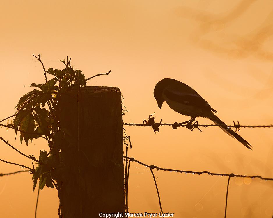 On a foggy morning a Loggerhead Shrike with its prey (tree frog), Lanius ludovicianus, Celery fields, Sarasota, FL