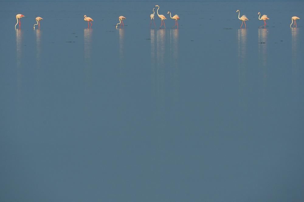 Eurasian flamingo, Phoenicopterus ruber roseus, Pulicat Lake, Tamil Nadu, India