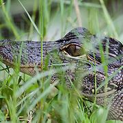 American alligator (Alligator mississippiensis). Corkscrew Swamp Sanctuary, National Audubon Society, Naples, Florida.