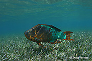 rainbow parrotfish, Scarus guacamaia, terminal phase male, swimming over seagrass bed, Thalassia testudinum, Hol Chan Marine Reserve, Ambergris Caye, Belize, Central America ( Caribbean Sea )