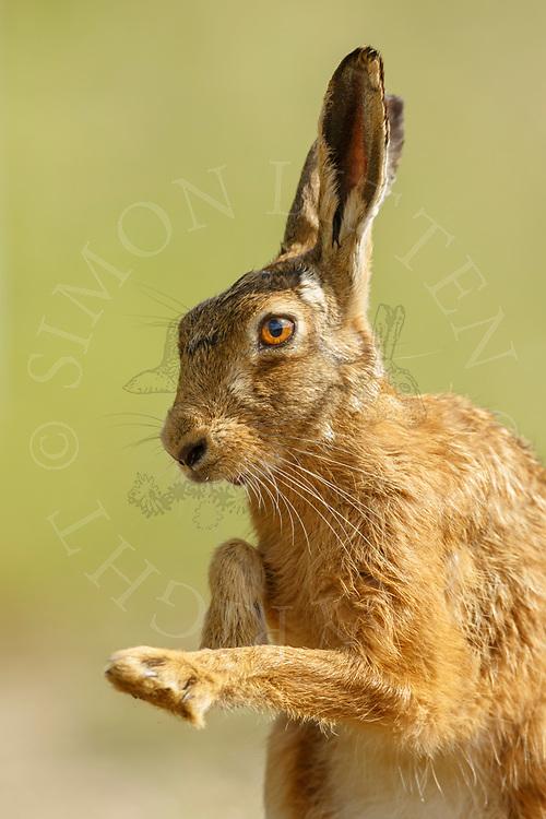 European Hare (Lepus europaeus) adult flicking its paws, South Norfolk, UK. June.
