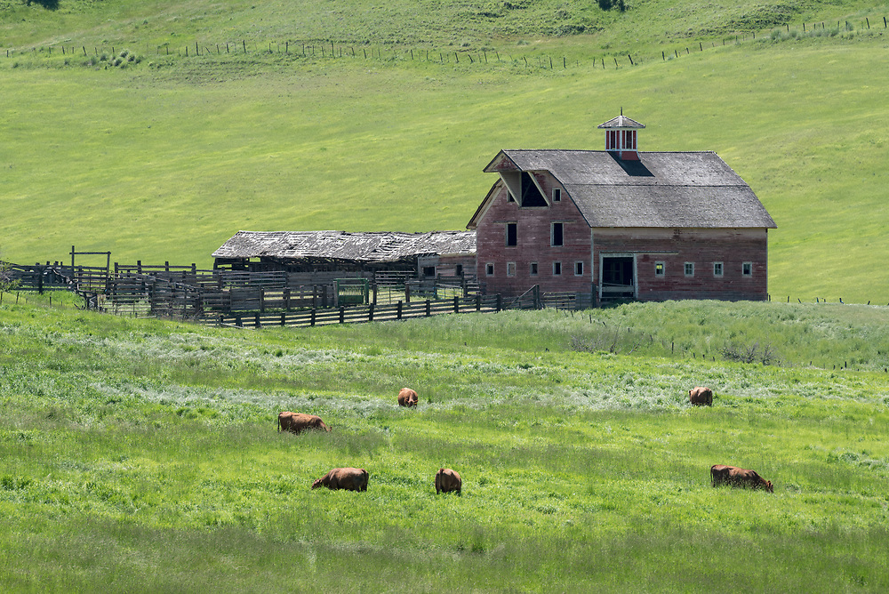 Cattle grazing near a barn built in 1915 by Church Dorrance, on Crow Creek in Wallowa County, Oregon.