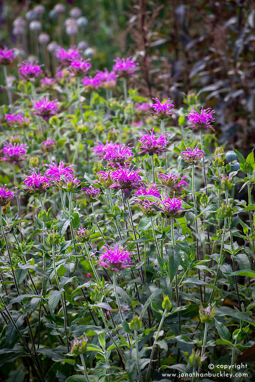 Monarda 'Violet Queen' AGM (bergamot) with Atriplex hortensis and opium poppy seedheads (Papaver somniferum).