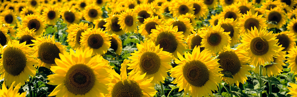 Sunflowers nod their seed heads in Cass County, North Dakota.