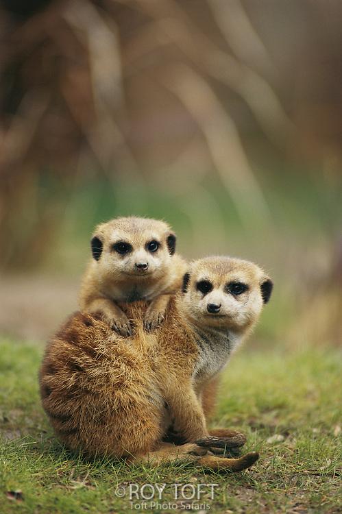 A pair of meerkats (captive) keep close company.