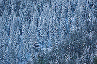 Snow-Covered Trees Above Yosemite Valley, Yosemite National Park, California
