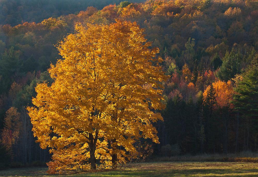 glowing sugar maples in autumn, Middlesex, Vermont