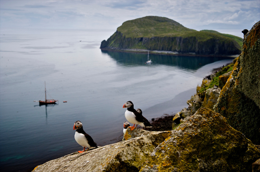 Puffins on the Shiant Isles, The Hebrides, Scotland. The Shiant Isles have a large population of seabirds, including tens of thousands Atlantic Puffins breeding in burrows on the slopes of Garbh Eilean, as well as significant numbers of Common Guillemots, Razorbills, Northern Fulmars, Black-legged Kittiwakes, Common Shags, gulls and Great Skuas. Although St Kilda has more puffins, the sheer density on the Shiants is greater. To buy this print click on the SHOPPING CART below.
